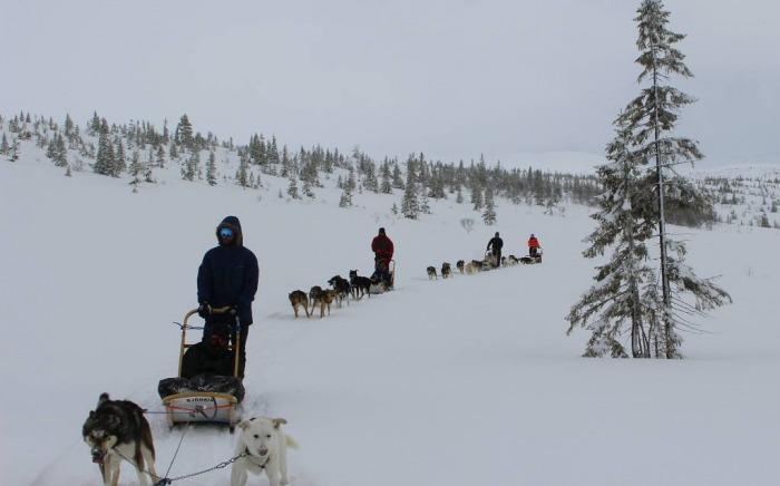 Elever på linja Friluftsliv og Idrett på hundekjøring i Meråker.